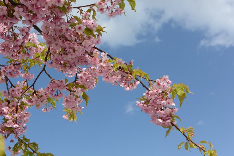 尾道市役所から駅前へ戻る水道沿いの遊歩道には、いろいろな品種の桜が植えられており、早いものは葉桜になっていた