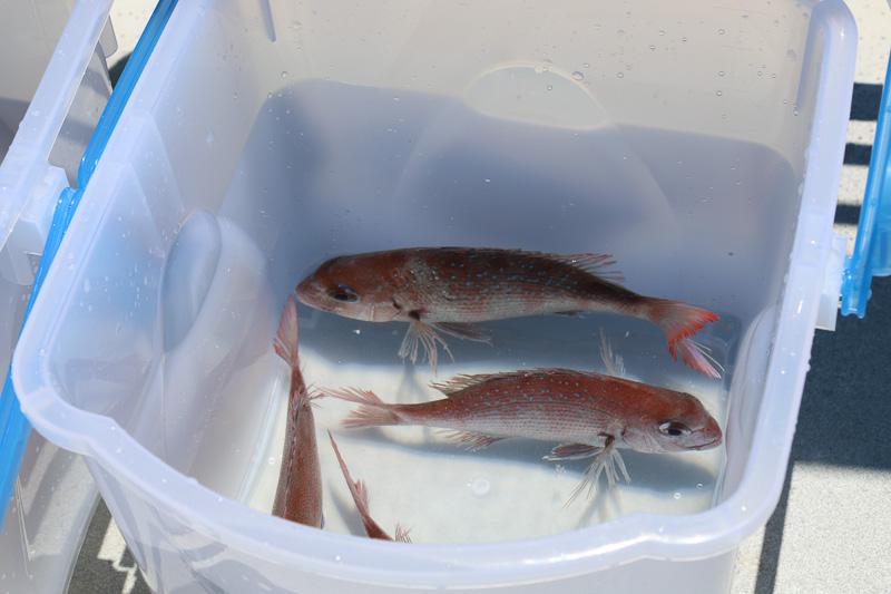 地元の幼稚園児とともに徳島県と兵庫県の知事らが「わんだーなると号」から鯛の稚魚を放流した
