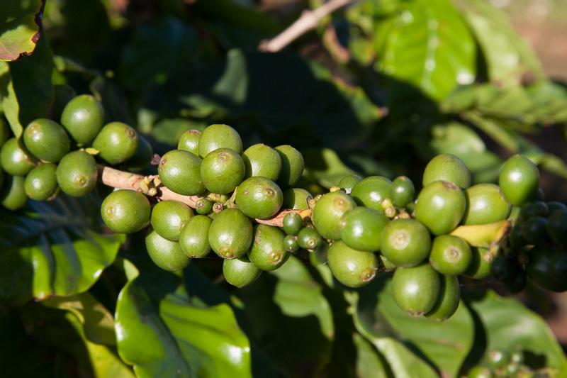 店の外にはコーヒーの木が。さらにその外には広大なコーヒー農園が広がっていた