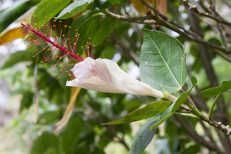 コキオ・ケオ・ケオの花