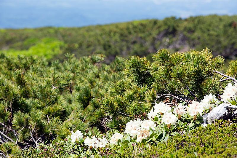 自然探勝路の側には、多様な高山植物を見ることができる