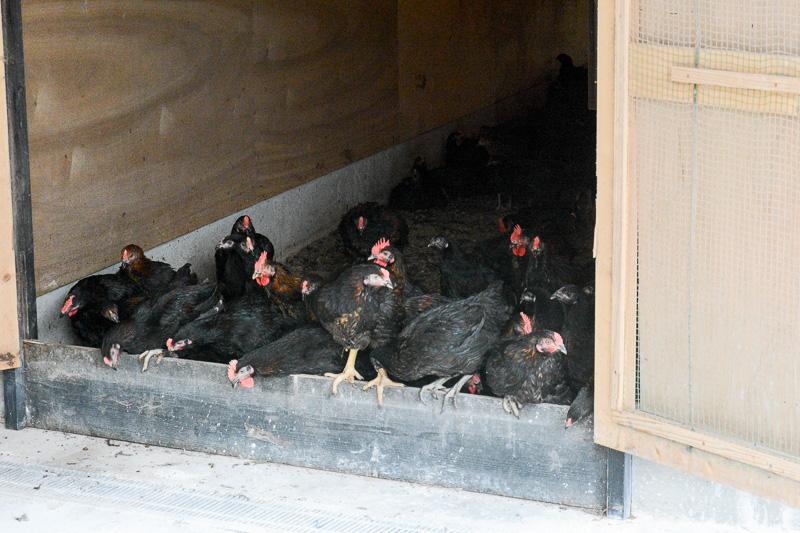 出荷が近い15週の鶏たち