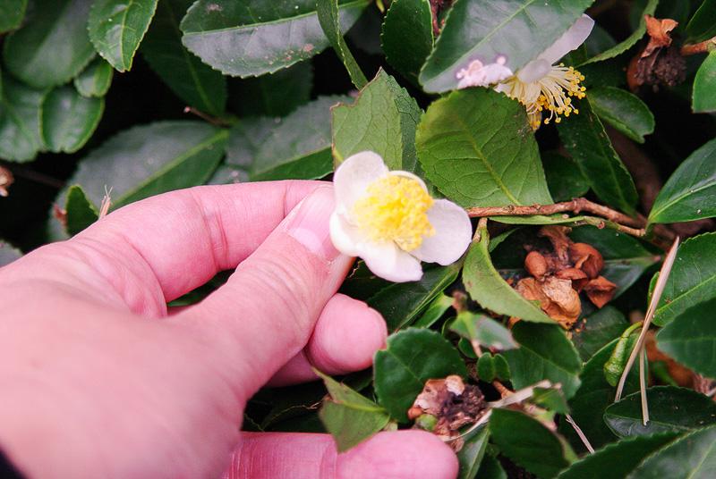 秋に咲くお茶の花。ちょっとだけ残っていた