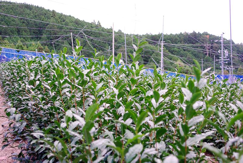 こちらはまだ若い茶の樹。根を深く張らせるために切らずに伸ばしているとのこと