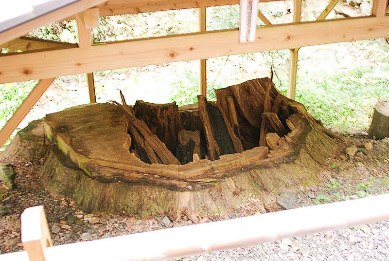 倒木の危険があったため切ったところ、中が炭化しても生きていたことが判明した「火防半僧杉」の切り株