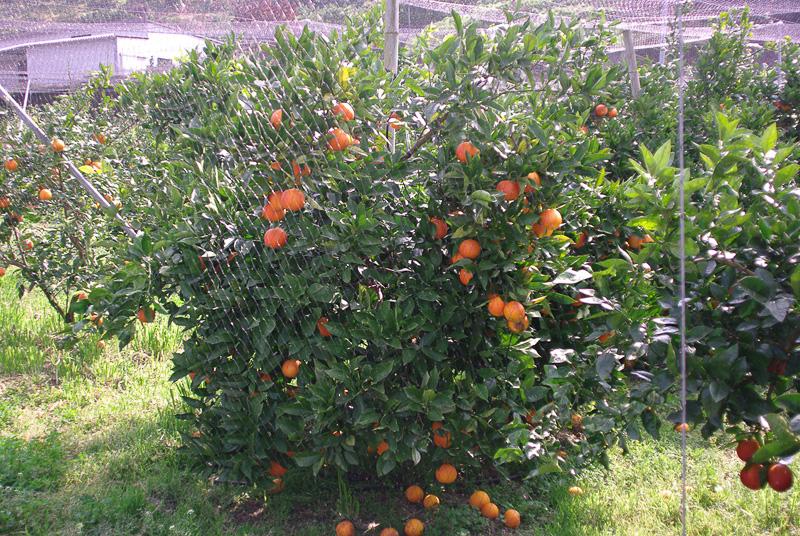 柑橘類は品種ごとに少しずつシーズンが違い、今は「タロッコ」の収穫期