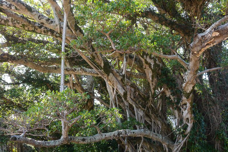 ガジュマルは枝から根が伸びる。それが地上に根付いたり、ほかの枝にくっついたりして不思議な形に成長していく