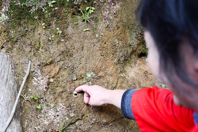 この穴は「ヤクシマクムラグモ」というクモの巣。残念ながら実物にはお目にかかれなかった