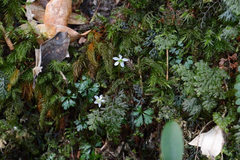 ほかの土地と分断された島には固有種が多いと相場は決まっている。この白くてかわいい花はオオゴカヨウオウレンといい、屋久島の固有種だそうだ