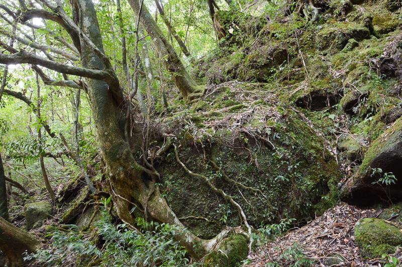 木にも生命があると感じられる力強さ。カメラのフレームからはみ出している「二代大杉」はその巨大さに圧倒される。実は有名な「弥生杉」より樹高がある