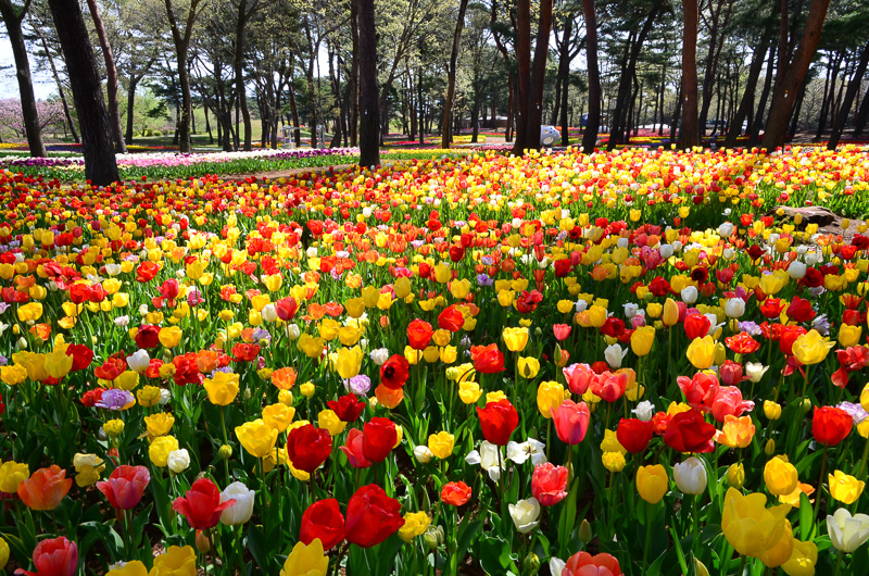 園内にはチューリップも咲いている